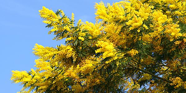 Gele mimosa