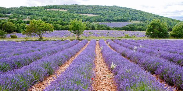 Lavendel in de Gordes