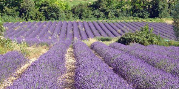 Lavendel in Sault
